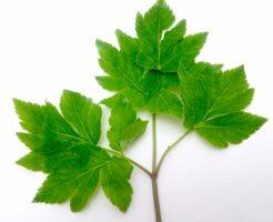明日葉 栄養 効果 副作用
